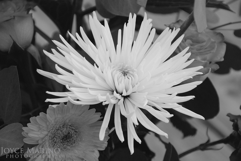 Spider Mum in Black & White -- DSC_0068r