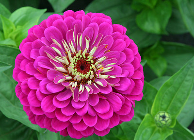 Zinnia - Benary Giant Wine!  One of my favorite annuals.  Best viewed XLarge.  Have a blessed day!