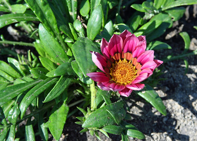 Everyone going shopping today?  LOL, not me!    Gazania are lovely flowers that you don't see often.  They are in the aster family and native to South Africa.  Drought tolerant and not eager to bloom on cloudy days.  Enjoy.