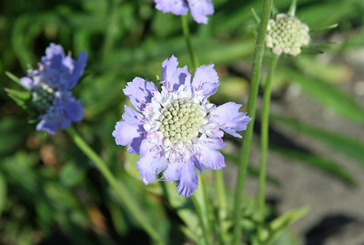 Best viewed XLarge.  I believe this is called Pincushion Flower....scabiosa.  Havea blessed day!