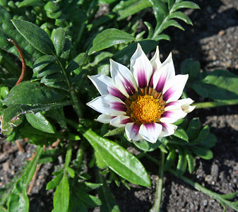 Happy Thanksgiving to all.    Sticking with the flower theme, here's a humble gazania.  May your day be blessed and spent with family and friends.