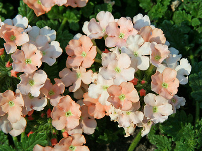 Peach Verbena.  There is a watercolor version of this shot in gallery.  Have a blessed day!