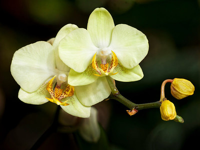 Cleveland Botanical Gardens Orchid Show - March 11
