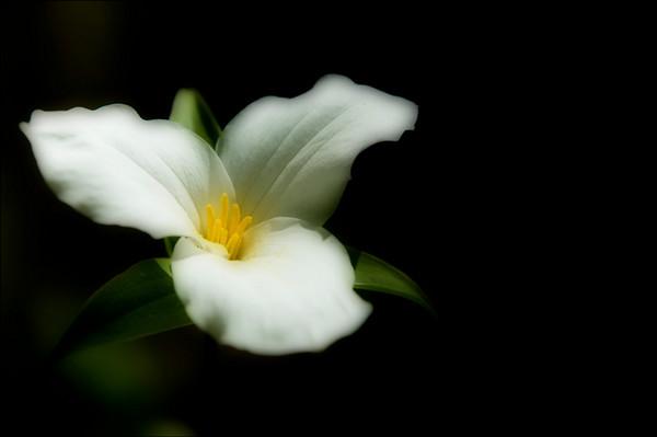 White Trillium<br /> Milton, Ontario
