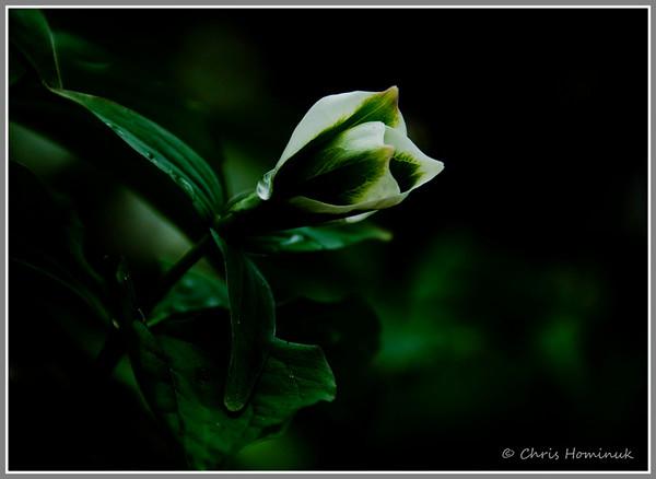 Green Trillium 1<br /> Bronte Provincial Park