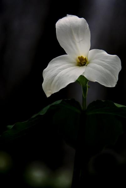 White Trillium<br /> Bronte Provincial Park