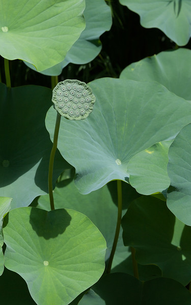 """White Lotus"" (Nelumbo nucifera) pod Riverbanks Botanical Gardens Columbia, SC   ~ Image by Martin McKenzie ~ All Rights Reserved"