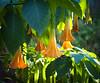 "Brugmansia <br /> a.k.a.<br /> ""Angel's Trumpet""<br /> <br /> Riverbanks Botanical Gardens Columbia, SC <br /> <br /> ~ Image by Martin McKenzie ~ All Rights Reserved"