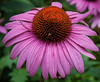 Purple Coneflower<br /> <br /> ~ Image by Martin McKenzie, all rights reserved ~<br />  © copyright digitally watermarked / filigrane numérique copyright ©