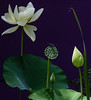 """""""Stages of the White Lotus"""" (Nelumbo nucifera) blossom <br /> Riverbanks Botanical Gardens Columbia, SC <br /> <br /> ~ Image by Martin McKenzie, all rights reserved ~<br />  © copyright digitally watermarked / filigrane numérique copyright ©"""