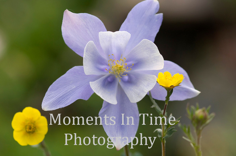 Columbine with yellow flower