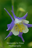 Colorado columbine v
