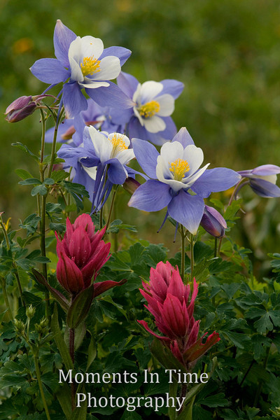 Columbine cluster with paintbrush v