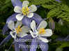 Columbine in fern exact