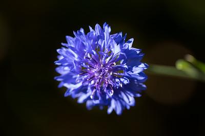Blue Cornflower