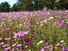 Cosmos on the Georgia - Tennessee border on Highway 75.  October 14, 2006