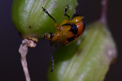 "The ""Button Beetle"" eating sead pod of Button Orchid."