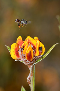 "Native bee in helicopter hover, descending on ""Pultenaea myrtoides""."