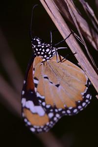 "The Lesser Wanderer, ""Danaus chrysippus"""