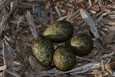 Plover eggs in open residential block.