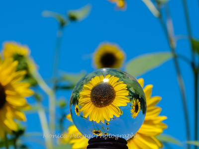 Crystal Ball Flowers 25 July 2019-5583