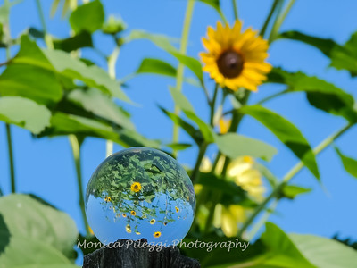 Crystal Ball Flowers 25 July 2019-5564
