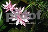 00450015 Pink waterlilies Asian garden 2004 small copy