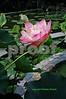 00880023 copy Lotus Blossom 1