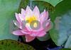 100_2634 Pink WL med cu sat shrp ASF crop BEST