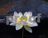 DSC_3395 Blown Lotus HZ crop dark bkgd SSSS 11x14 ENL
