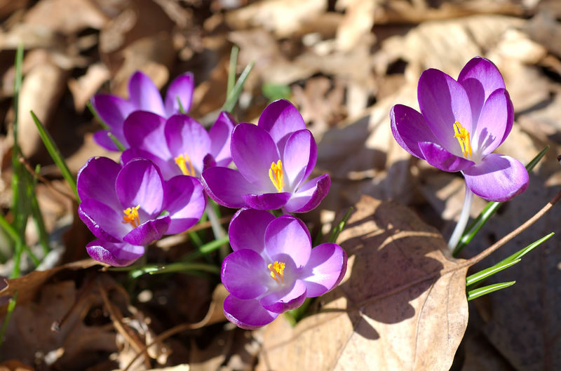 purple crocus' are blooming like crazy - 03-03-2006