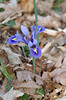blue iris makes its first appearance at our house - 2006