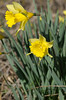 daffodils make their appearance at former homesteads on the North Boundary Trail