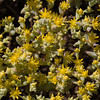Yellow Stonecrop.  Covers rocks in the Hill Country.