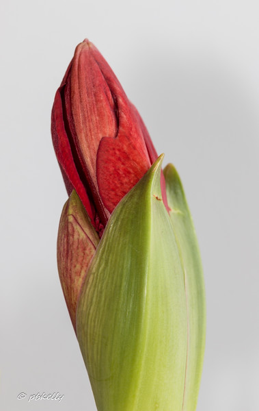1-15-17.  Bright red amaryllis emerging in my December pot. Playing with macro and off camera flash.