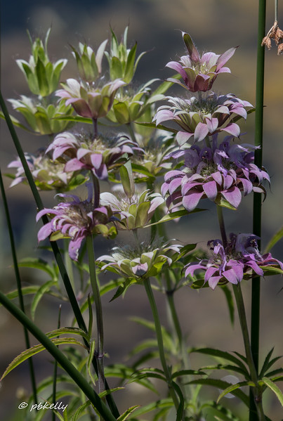 Purple Horsemint.