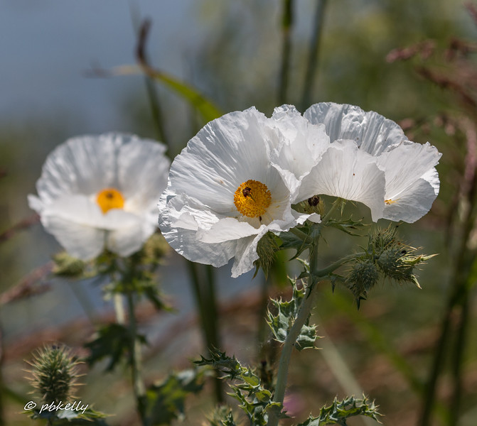 White Prickly Poppy.