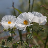 White Prickly Poppy.