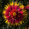 Closeup of Indian Blanket (with small weevil).