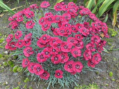 Dianthus 'Whatfield Red'