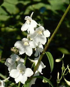 Delphinium 'Moerheimii'
