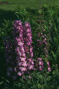 Delphinium 'Astolat'