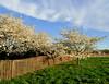 White Cherry Blossoms & Fence, Washington DC