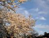 White Cherry Blossoms near Tidal Pool, Washington DC