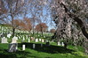 Arlington Cemetery and Weeping Cherry Blossom Tree