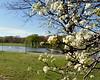 Cherry Blossoms @ DC Park