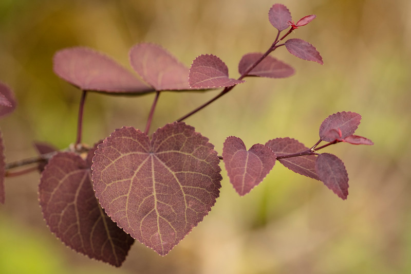 CERCIDIPHYLLUM JAPONICUM RED FOX