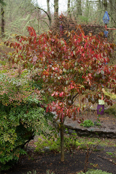WINTER COLOR OF EUONYMUS CARNOSUS