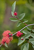 MOSSY ROSE GALLS ON ROSA GLAUCA