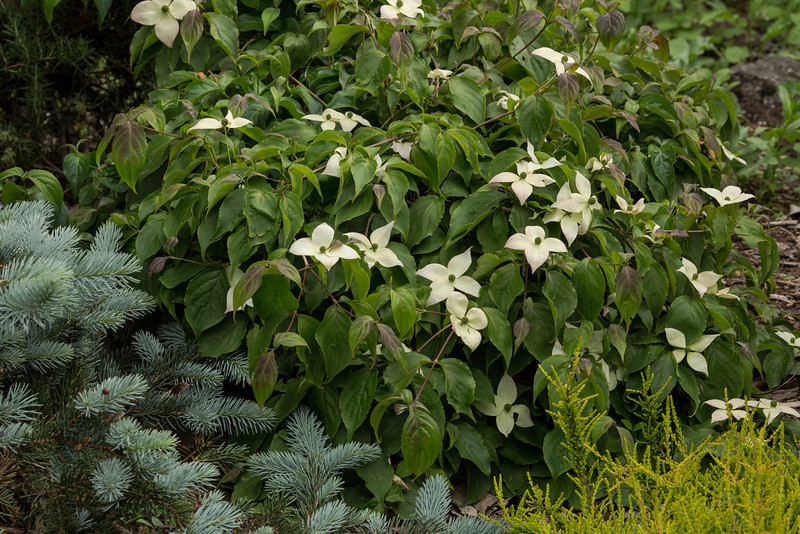 AN UNNAMED WITCHES BROOM CORNUS FROM BROKEN ARROW NURSERY.  <br /> KNEE HIGH AND FLORIFEROUS.